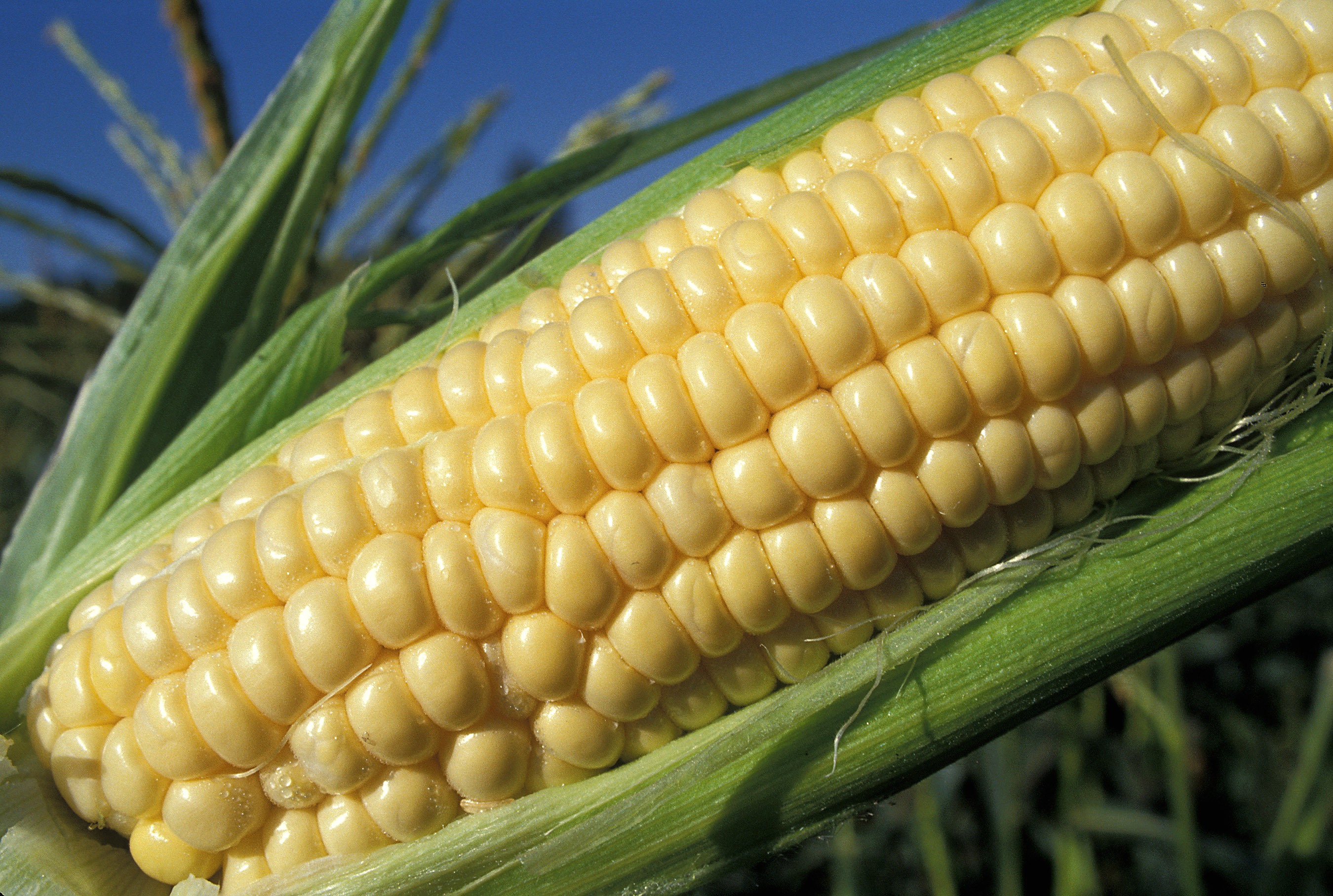 Close up - ear of corn