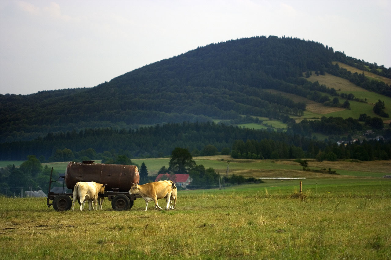 Cows drinking in a pasture