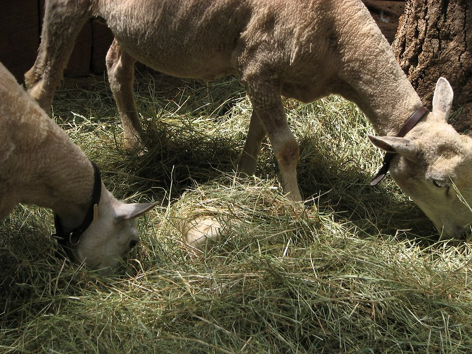 Sheep and hay