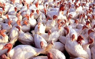 Turkeys - Image from http://www.newsplex.com/