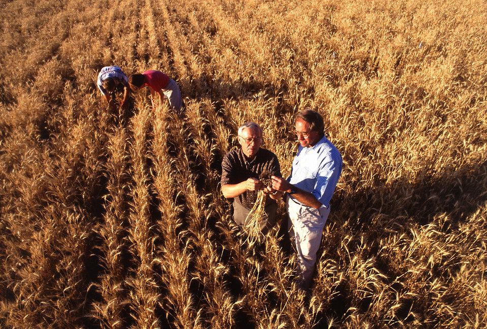 Wheat farmers in a field