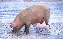 A dirty pig is a healthy pig.